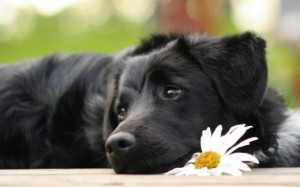 black-dog-free-picture_w520